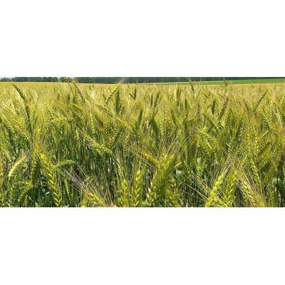 Подолянка - пшеница озимая