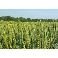 Дромос - пшеница озимая