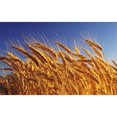 Орийка - пшеница озимая