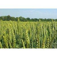 Колония - пшеница озимая