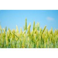 Гурт - пшеница озимая